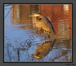 great-blue-heron-in-house-reflection-e-s-c-r-bc-p1130266