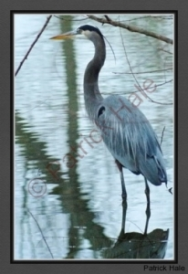 great-blue-heron-in-lake-e2-s-c-r-bc-dsc06108