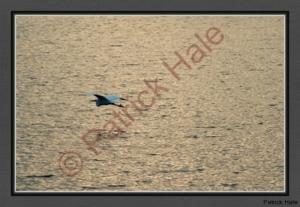 snowy-egret-in-flighte-cropped-web-dsc01769-2
