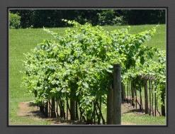 Vines on Posts E R BC Web DSC06250